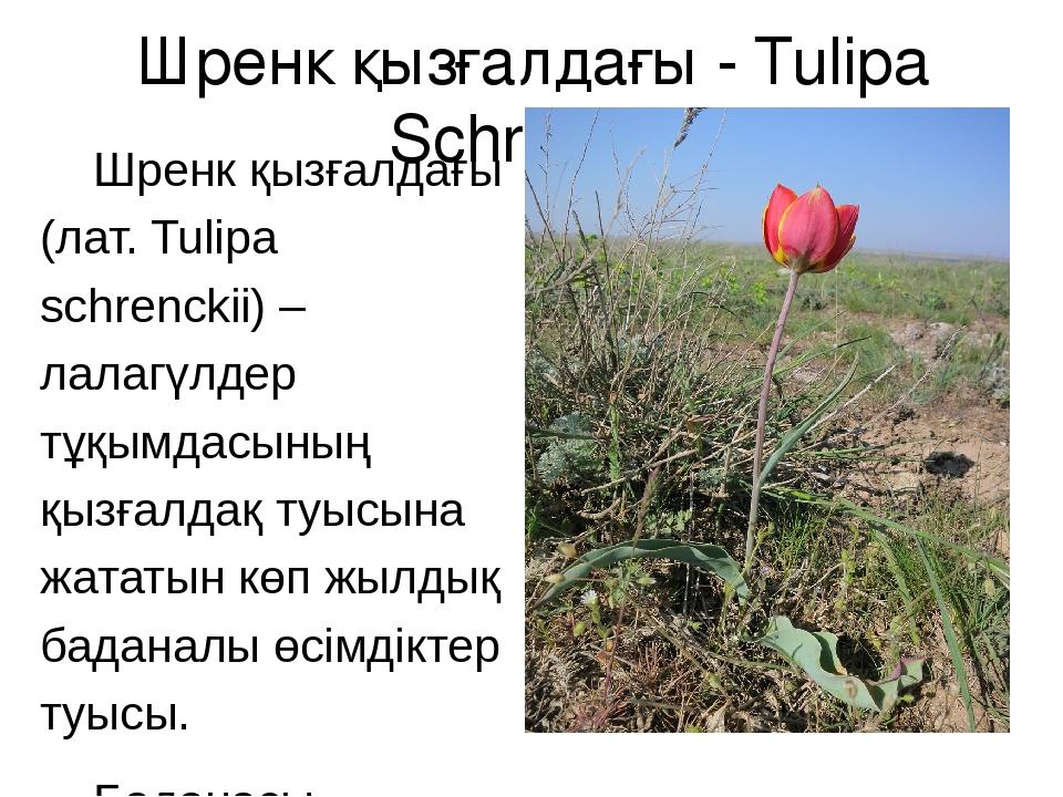 Шренк қызғалдағы - Tulipa Schrenkii Шренк қызғалдағы (лат. Tulipa schrenckii)...