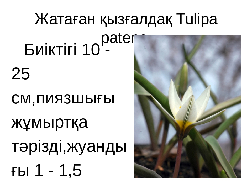 Жатаған қызғалдақ Tulipa patens Биіктігі 10 - 25 см,пиязшығы жұмыртқа тәрізді...