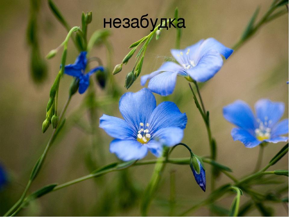 Синие полевые цветы фото