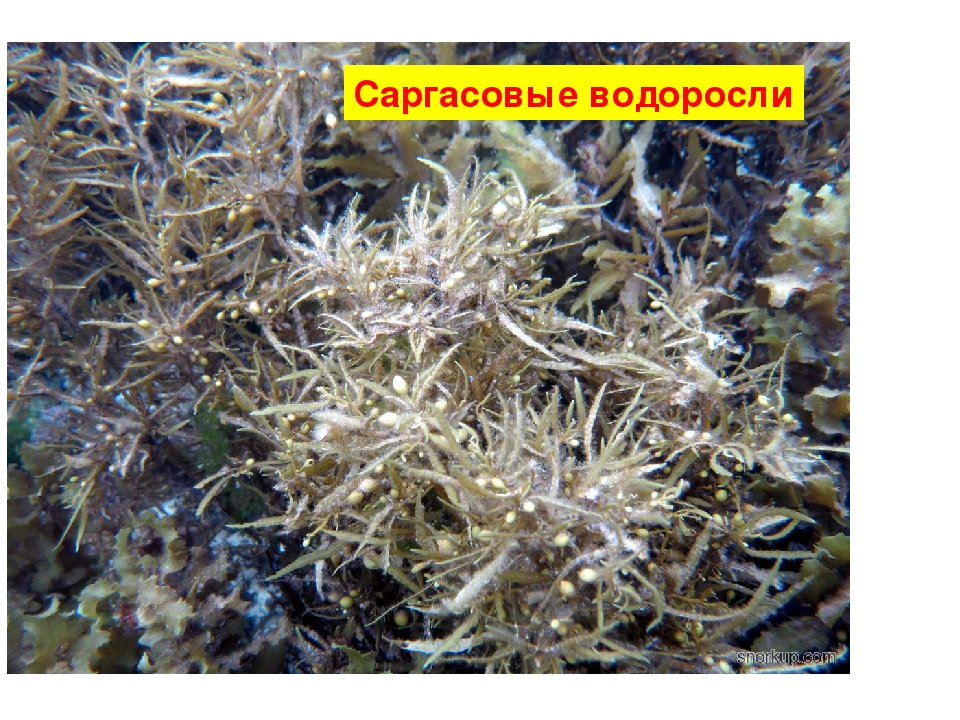Саргасовые водоросли