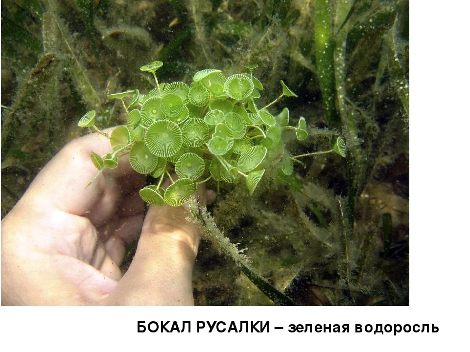 БОКАЛ РУСАЛКИ – зеленая водоросль