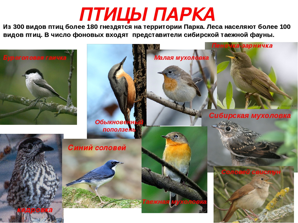 Птицы московских парков фото и описание
