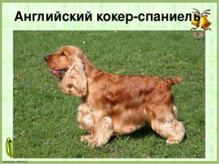 Английский кокер-спаниель FokinaLida.75@mail.ru