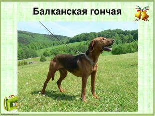 Балканская гончая FokinaLida.75@mail.ru