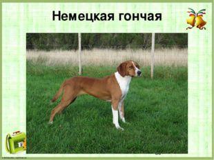 Немецкая гончая FokinaLida.75@mail.ru