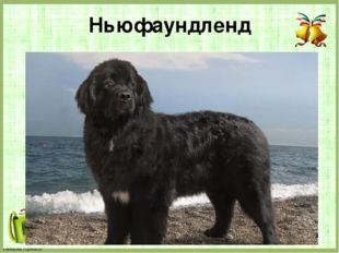 Ньюфаундленд FokinaLida.75@mail.ru