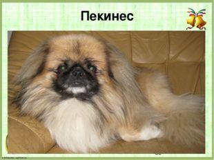 Пекинес FokinaLida.75@mail.ru