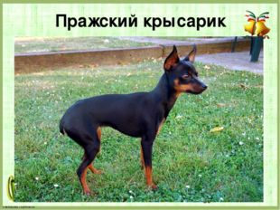 Пражский крысарик FokinaLida.75@mail.ru