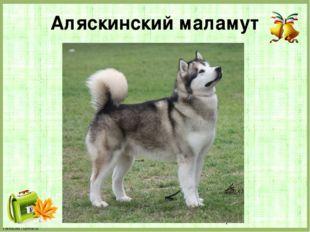 Аляскинский маламут FokinaLida.75@mail.ru
