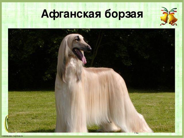Афганская борзая FokinaLida.75@mail.ru