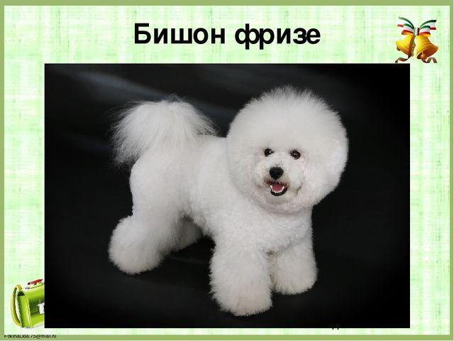 Бишон фризе FokinaLida.75@mail.ru