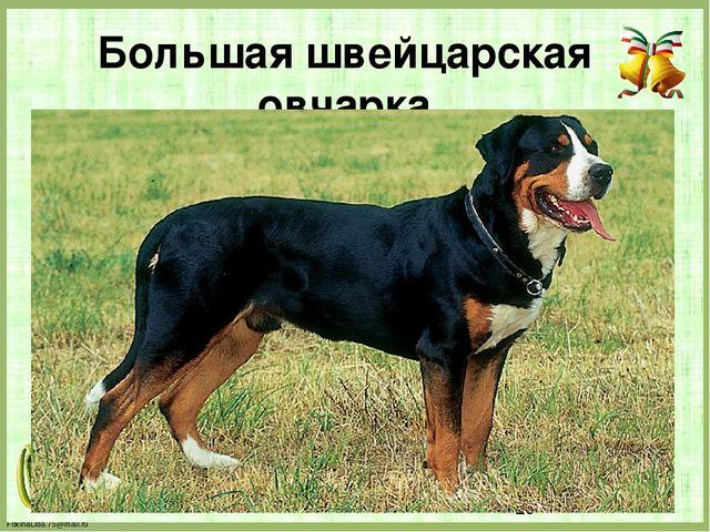 Большая швейцарская овчарка FokinaLida.75@mail.ru