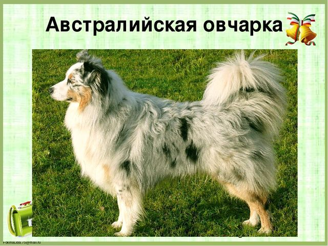 Австралийская овчарка FokinaLida.75@mail.ru