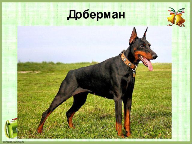 Доберман FokinaLida.75@mail.ru