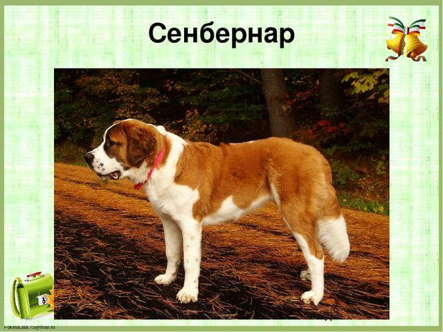 Сенбернар FokinaLida.75@mail.ru
