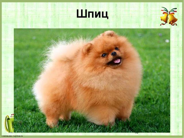 Шпиц FokinaLida.75@mail.ru