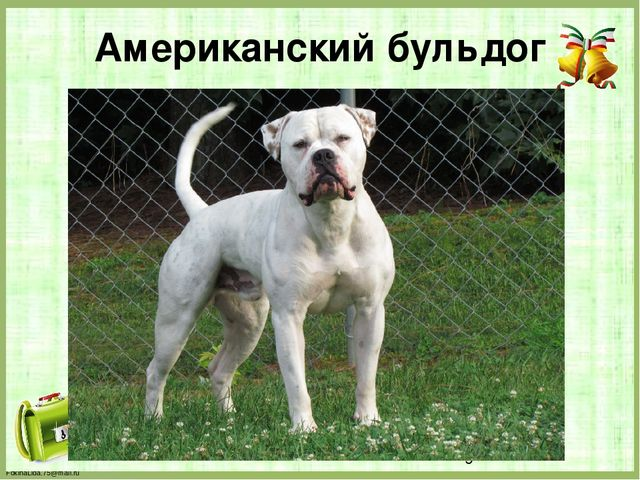 Американский бульдог FokinaLida.75@mail.ru