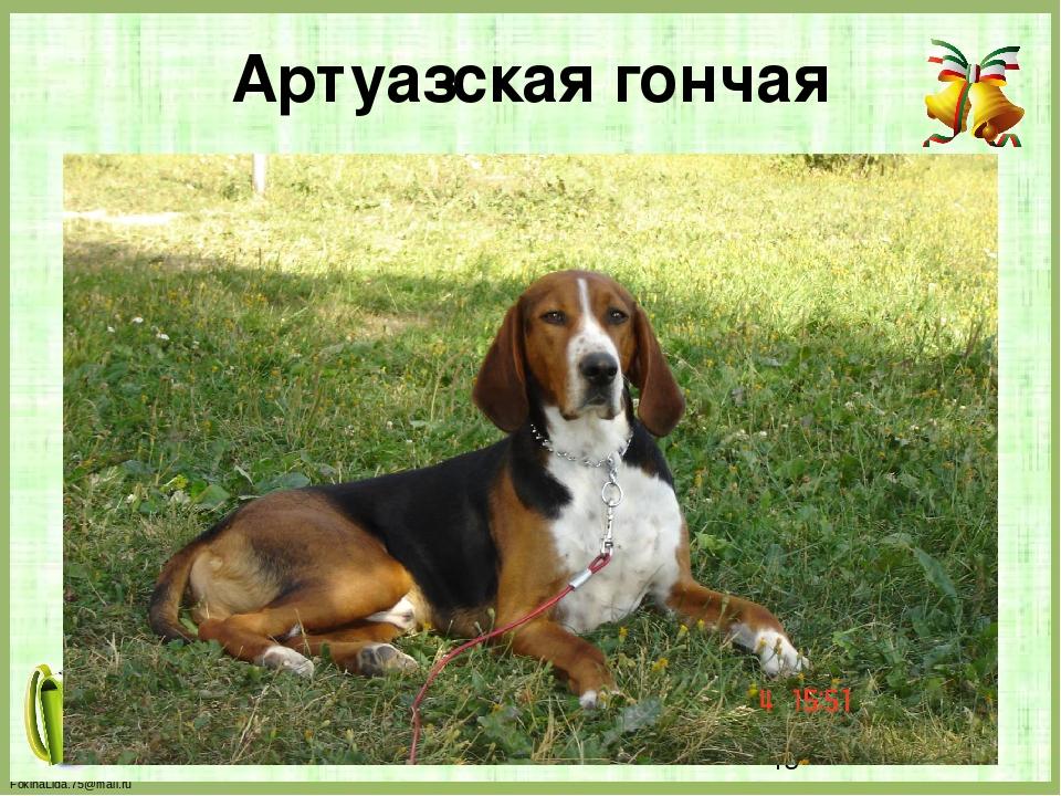 Артуазская гончая FokinaLida.75@mail.ru