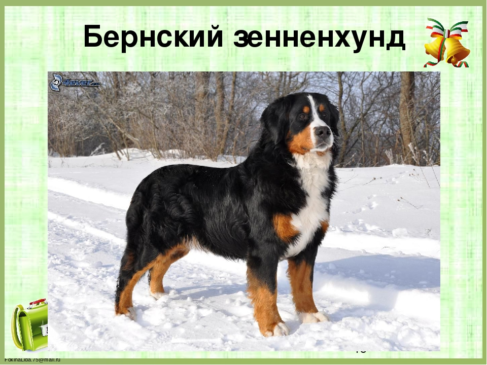 Бернский зенненхунд FokinaLida.75@mail.ru
