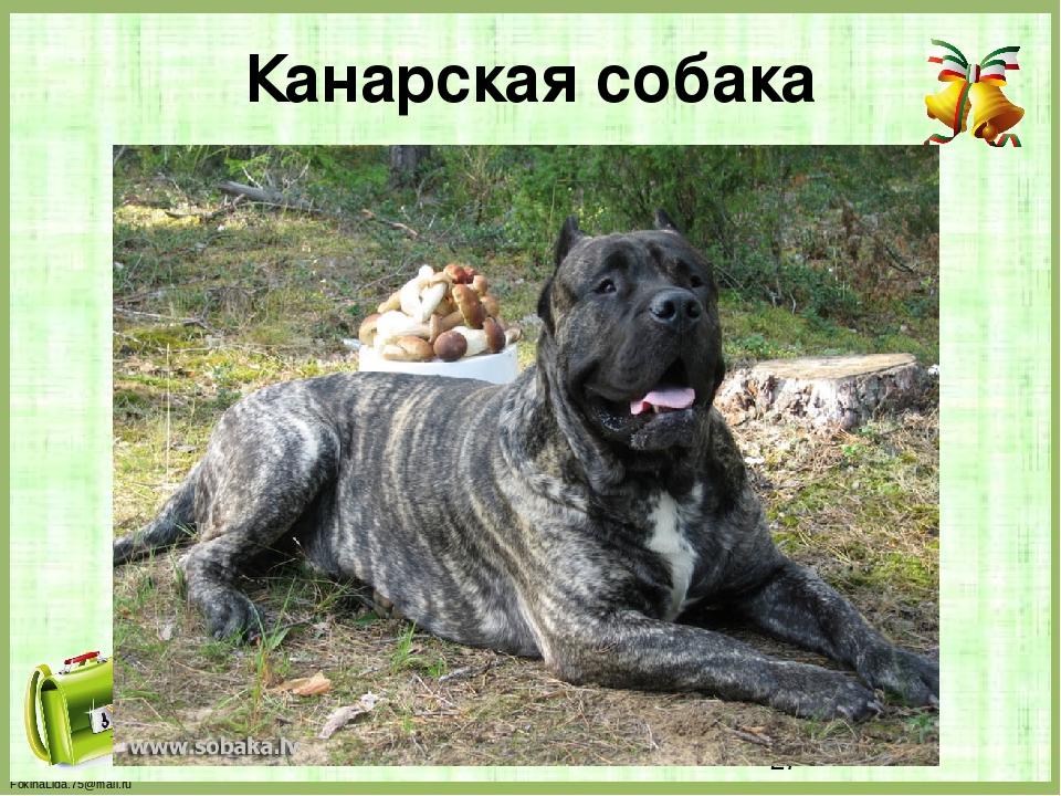Канарская собака FokinaLida.75@mail.ru