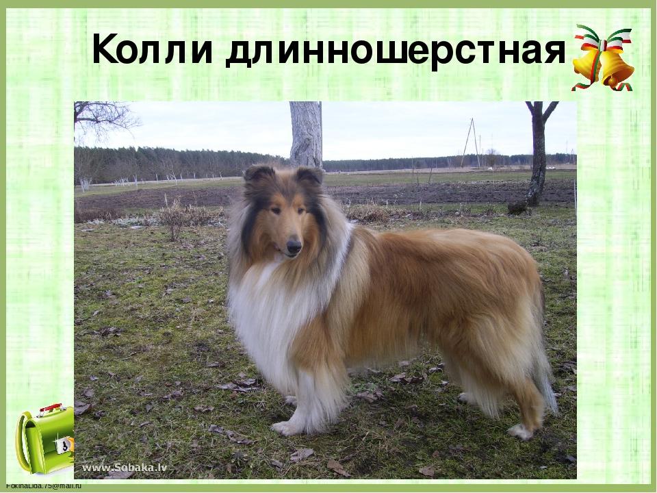 Колли длинношерстная FokinaLida.75@mail.ru