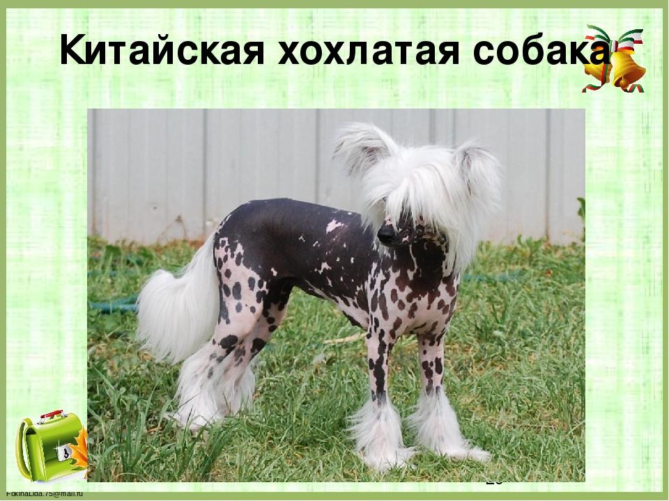 Китайская хохлатая собака FokinaLida.75@mail.ru