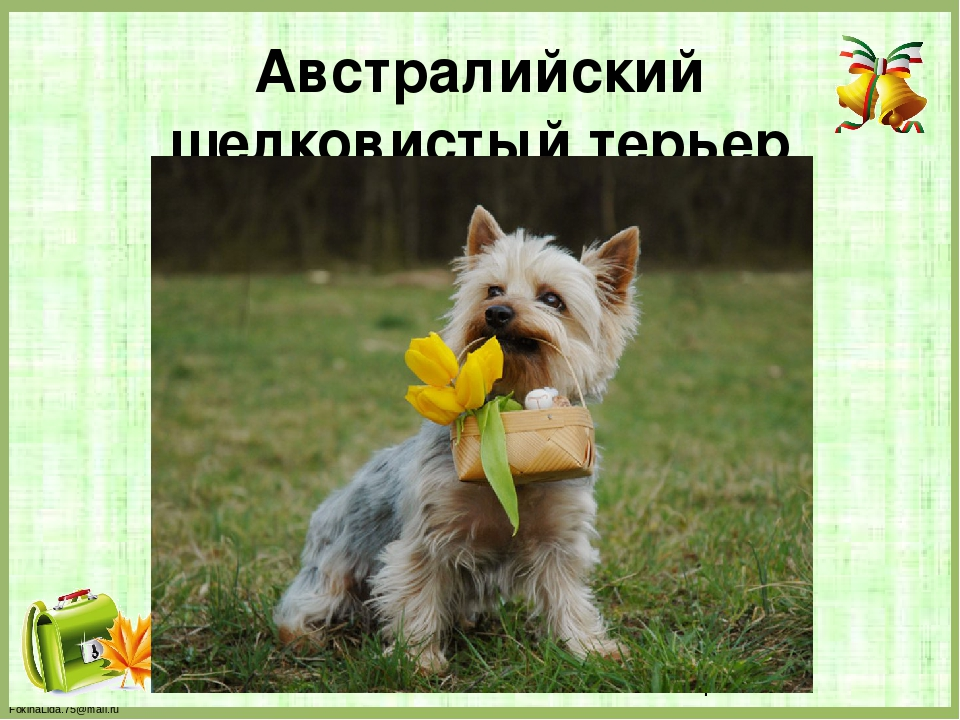 Австралийский шелковистый терьер FokinaLida.75@mail.ru