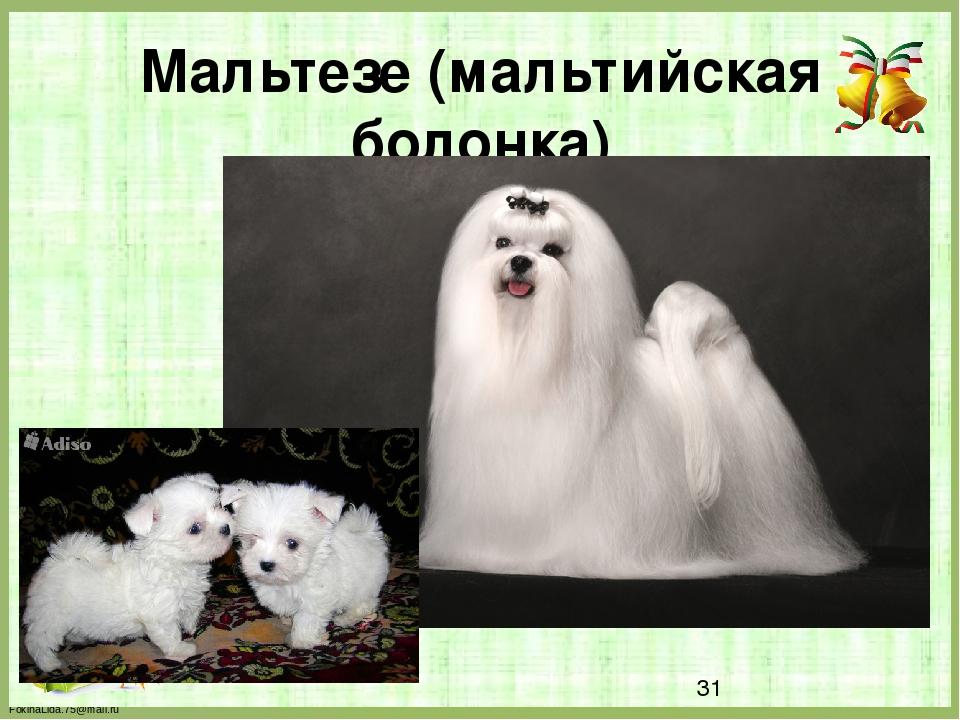 Мальтезе (мальтийская болонка) FokinaLida.75@mail.ru