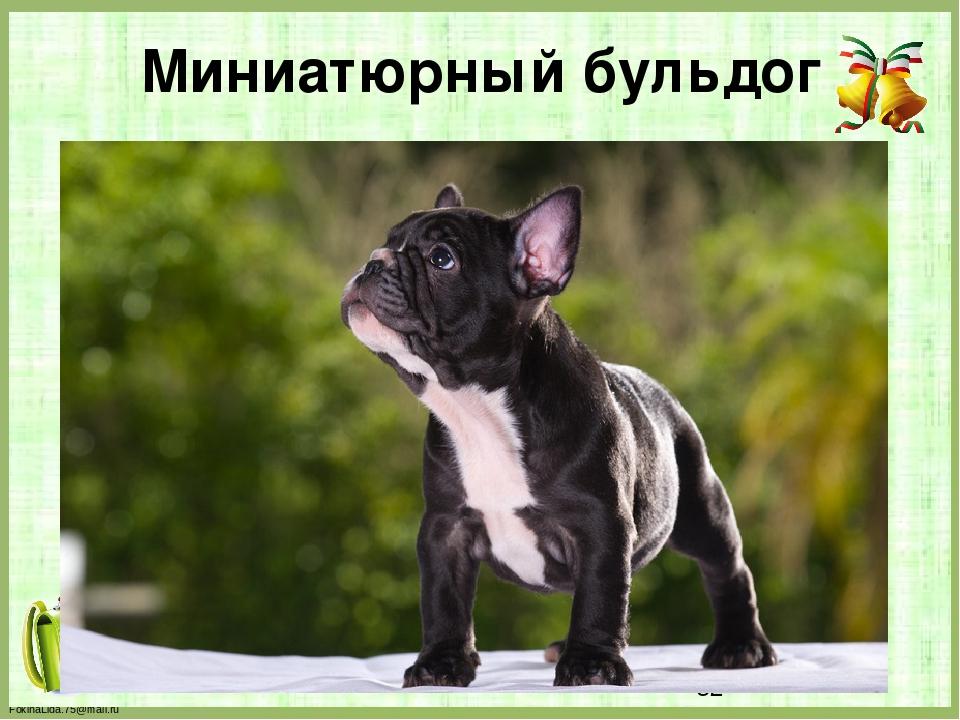 Миниатюрный бульдог FokinaLida.75@mail.ru