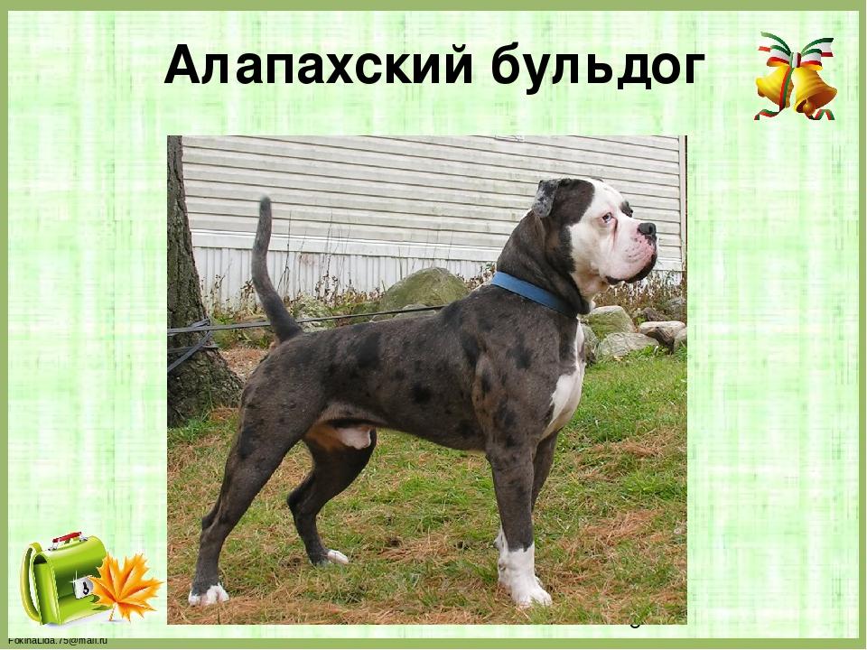Алапахский бульдог FokinaLida.75@mail.ru