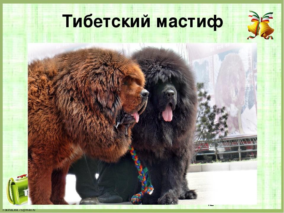 Тибетский мастиф FokinaLida.75@mail.ru