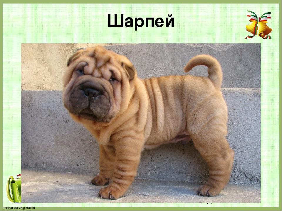 Шарпей FokinaLida.75@mail.ru