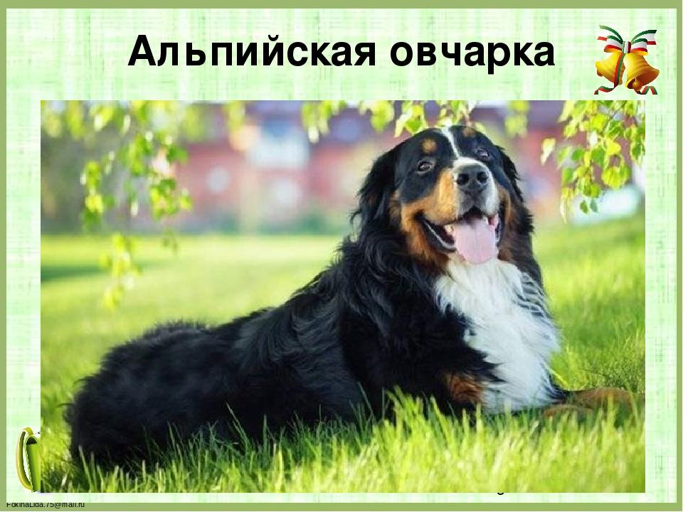 Альпийская овчарка FokinaLida.75@mail.ru
