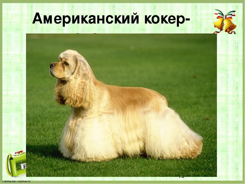 Американский кокер-спаниель FokinaLida.75@mail.ru