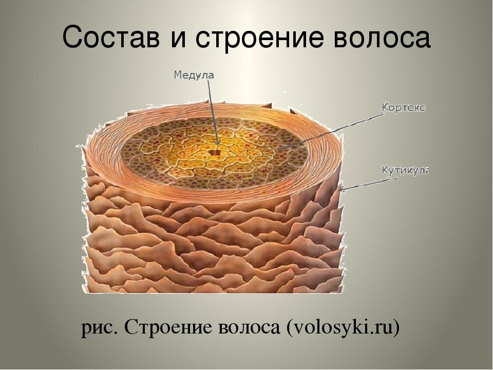 Состав и строение волоса рис. Строение волоса (volosyki.ru)