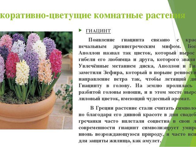 Декоративно-цветущие комнатные растения ГИАЦИНТ Появление гиацинта связано с...