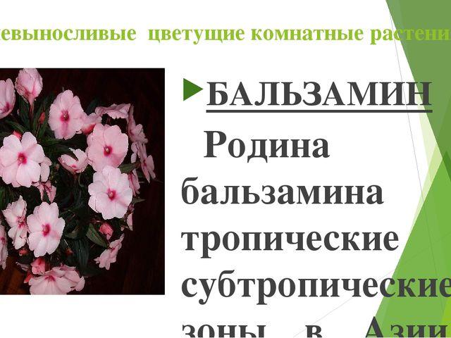 Теневыносливые цветущие комнатные растения БАЛЬЗАМИН Родина бальзамина – тро...