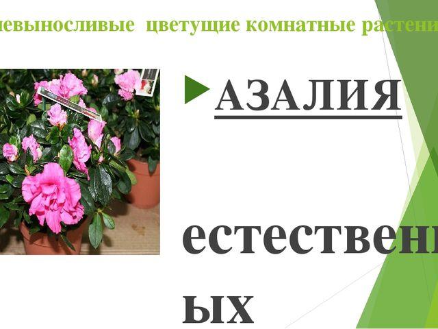 Теневыносливые цветущие комнатные растения АЗАЛИЯ В естественных условиях аза...