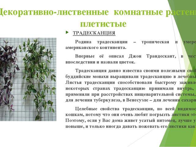 Декоративно-лиственные комнатные растения : плетистые ТРАДЕСКАНЦИЯ Родина тр...