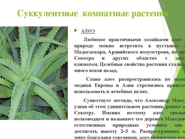 Суккулентные комнатные растения АЛОЭ Любимое практичными хозяйками алоэ в ди...