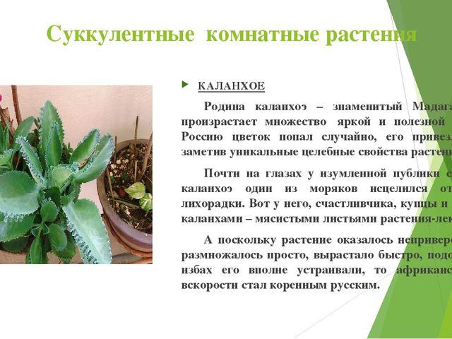 Суккулентные комнатные растения КАЛАНХОЕ Родина каланхоэ – знаменитый Мадага...