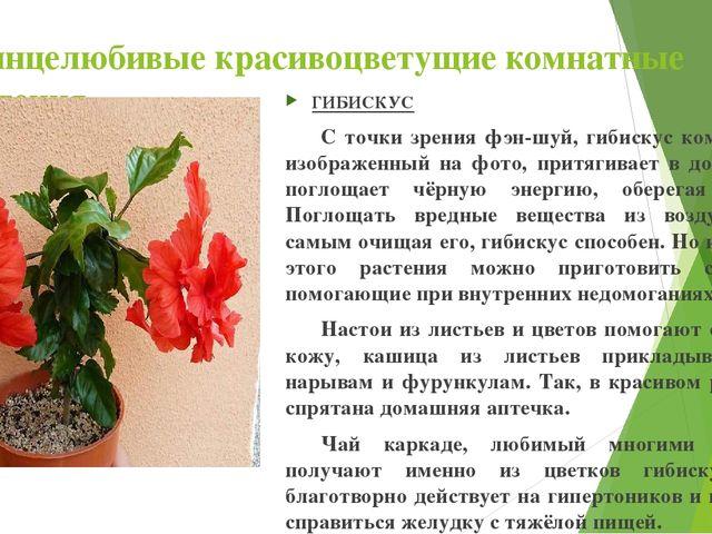 Солнцелюбивые красивоцветущие комнатные растения ГИБИСКУС С точки зрения фэн...