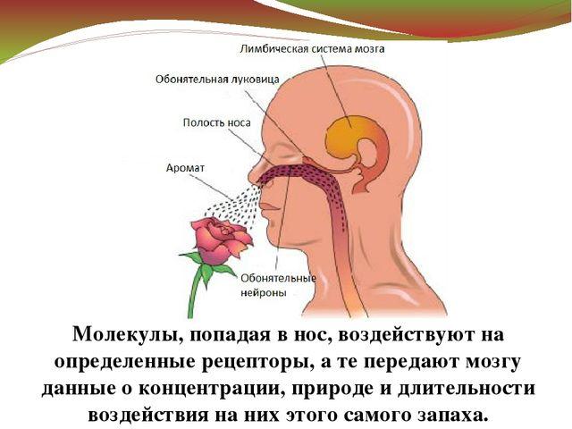 Молекулы, попадая в нос, воздействуют на определенные рецепторы, а те передаю...