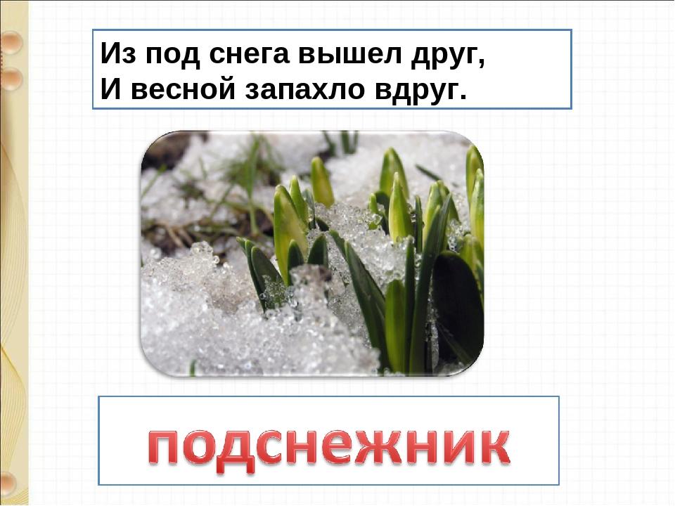 Из под снега вышел друг, И весной запахло вдруг.