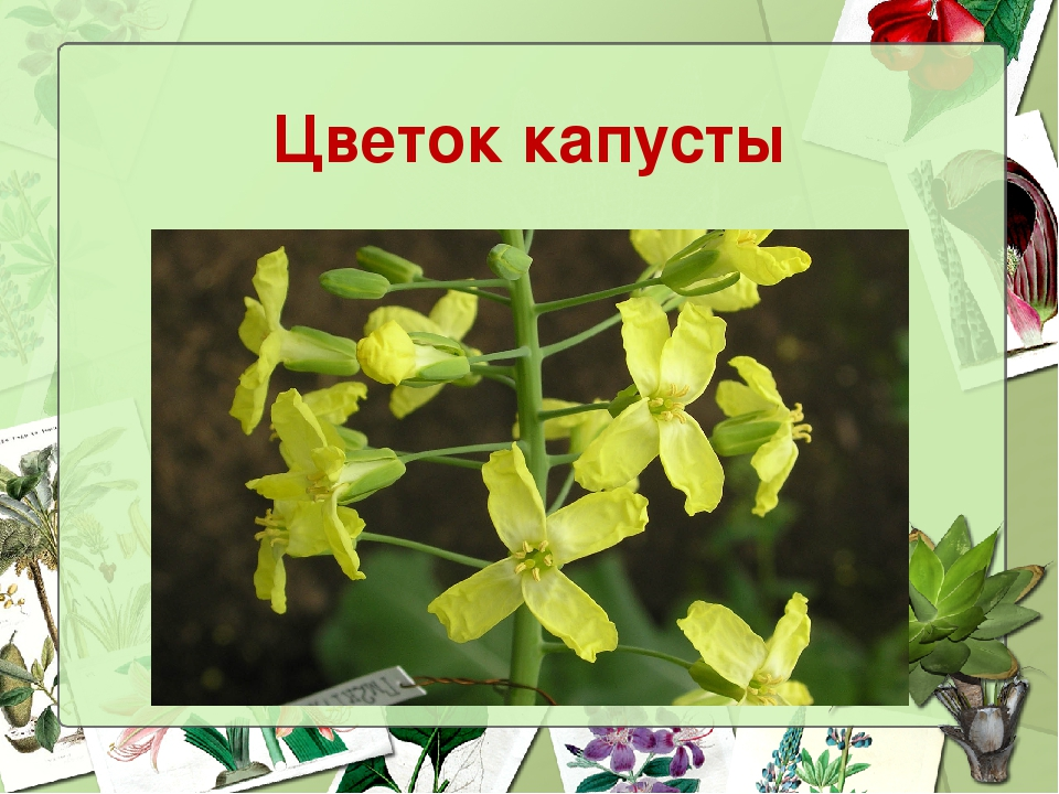 Картинка соцветия капусты
