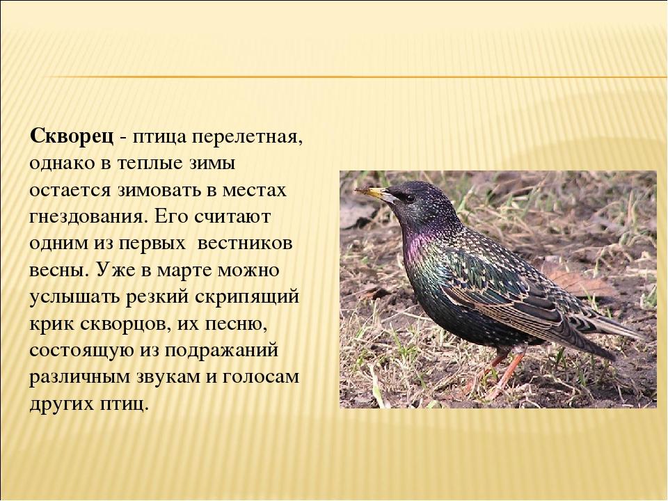 скворцы перелетные птицы или нет говорят застое