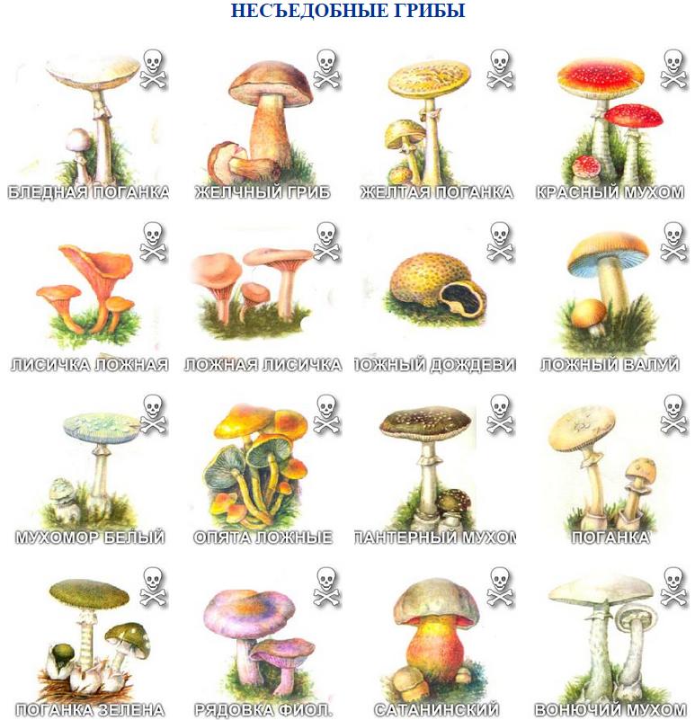 что многие картинки ядовитых грибов и ягод с названиями выдал его