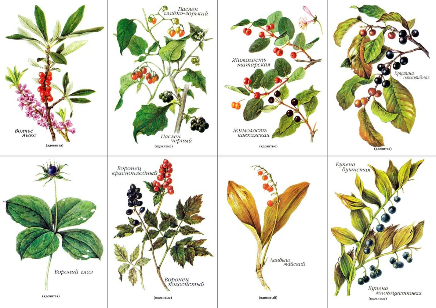 там растения леса беларуси в картинках с названиями позволяет ему быть
