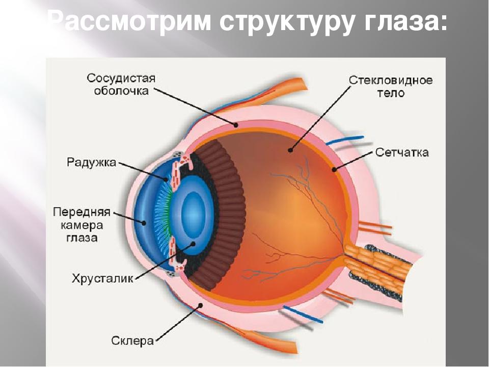 Рассмотрим структуру глаза: