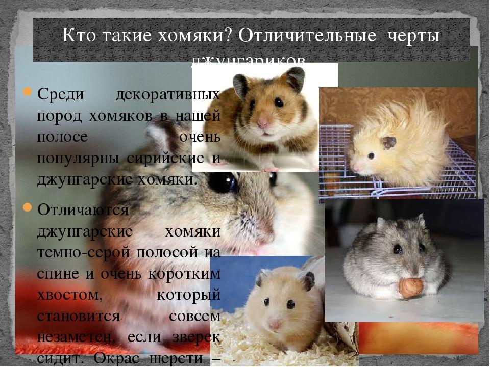 разновидности хомяков фото и описание симптомы, указывающие